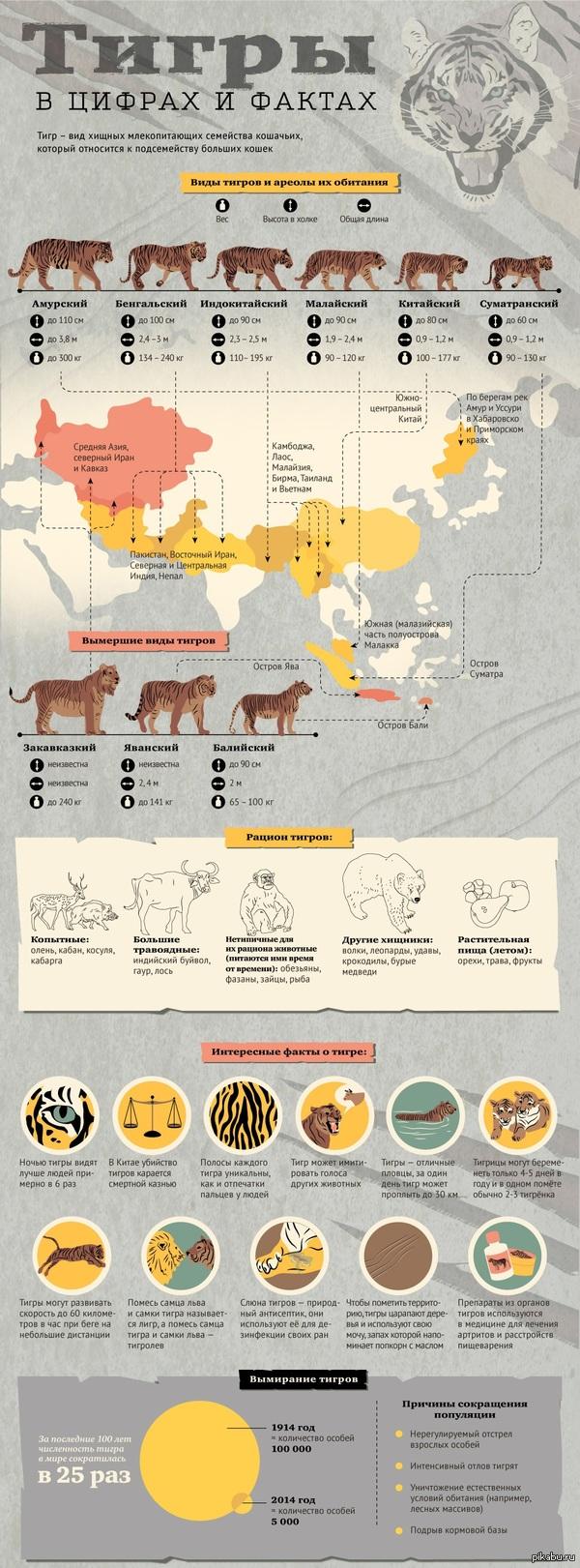 Тигры (в цифрах и фактах)