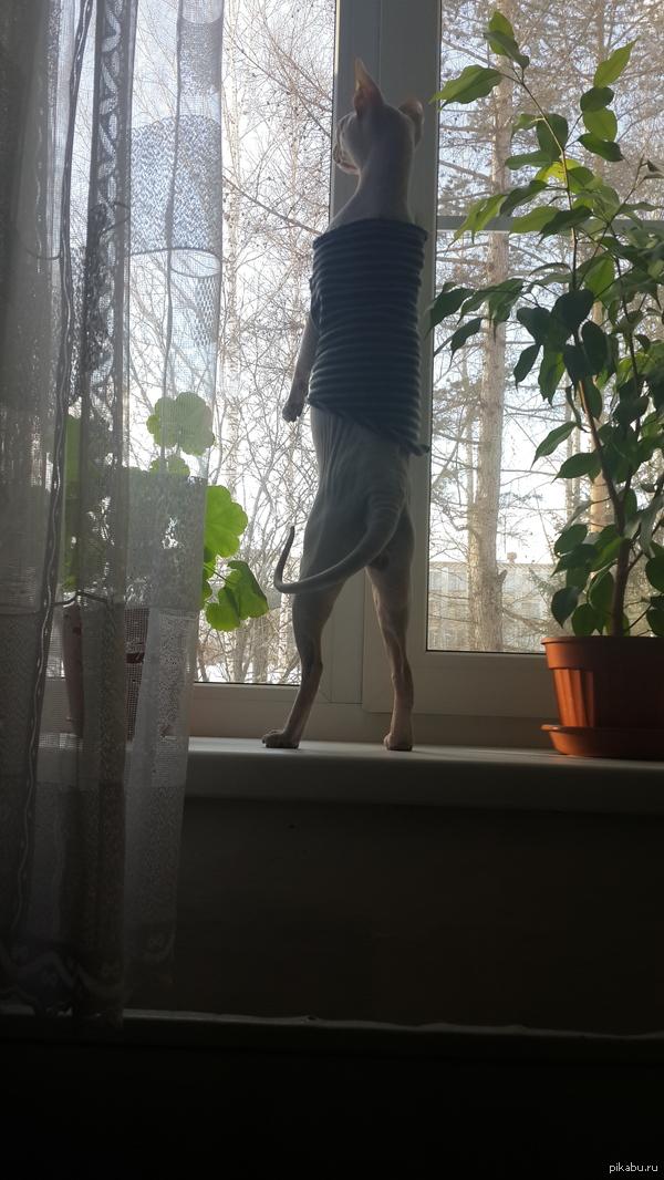 Мой лысый котяра. Встал на подоконник и высматривает птичек.