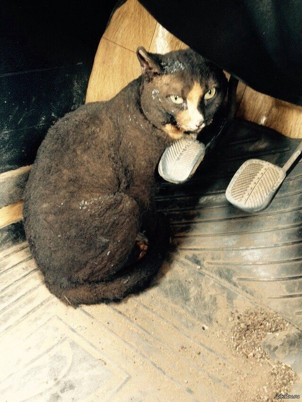 Че Ширский кот, погорелец из Шира Вот такой котейка, переживший пожар в поселке Шира. Ему досталось, но он держится.