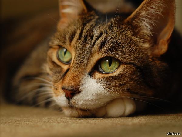 Кошки и индуизм. Вчера посмотрел фильм про индуизм и веды. Там было сказано, что в кошках души, отработавшие негативную карму в адских мирах.