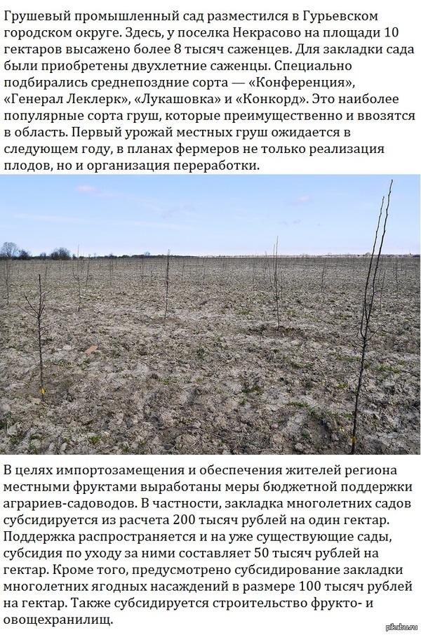 В Калининградской области появился первый грушевый промышленный сад