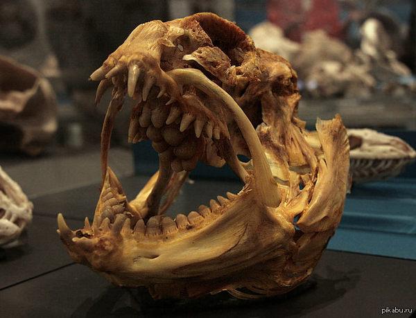 Череп угревидной зубатки (Anarrhichthys ocellatus) Палец ей в рот определенно класть не рекомендуется.