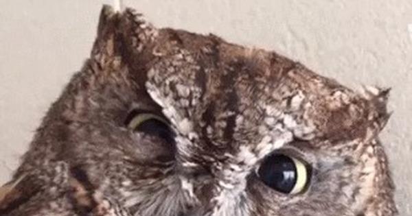 Гифы совы хлопают глазами