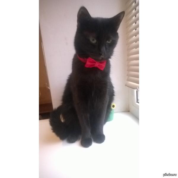 Мой стеснительный джентльмен подруга сшила для моего кота праздничный наряд - бабочку