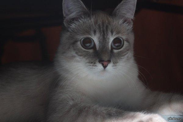 На пикабу любят котиков? Моя красавица, зовут Милка