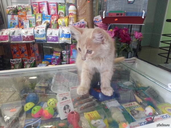 """Котенок ищет хозяина! Нижнекамск. Кот (возможно кошка) третий день гуляет возле магазина """"ИХЛАС"""" по адресу пр. Химиков 53  Игривый, имеет красивый кремовый окрас. Фото в"""