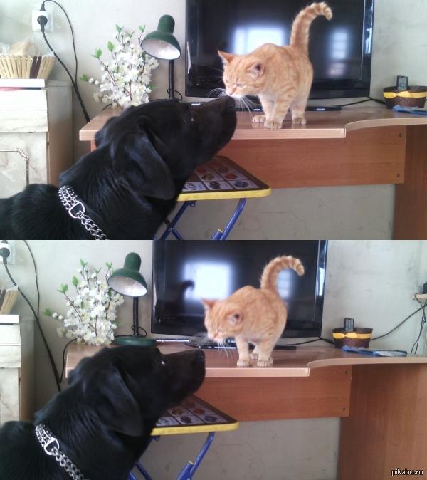 Первая встреча Цезарь знакомится с новым жильцом. Собакен и котяра друзей. Получал по морде, чтобы не гонял кота) Сейчас мир и дружба