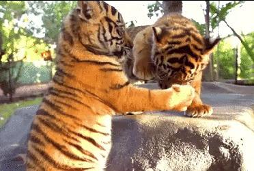 """Крохотные тигровые пощечины) или """"Крошечный тигровый Fight Club"""""""