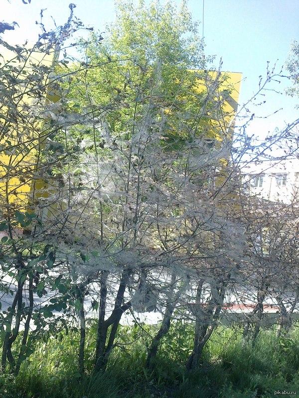 Нашествие гусениц в Иркутске уже 3 год подряд гусеницы атакуют деревья и кустарники в Иркутске, съедая листья и опутывая паутиной