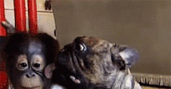 Смешные, гифка про обезьяну и собаку