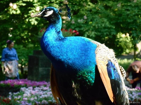 Красавец - павлин в парке города Ессентуки Яркость красок этого павлина сразу бросаются в глаза. Поражает красочное разнообразие этих красивых и независимых птиц.