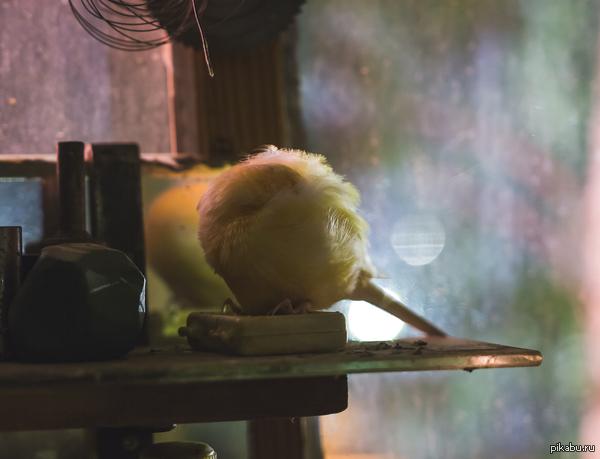 Спящая канарейка