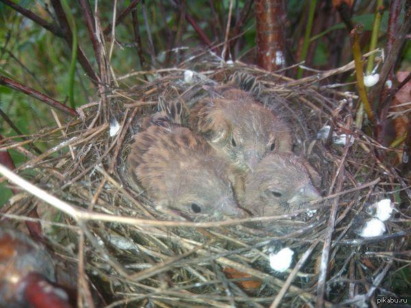 Тут есть орнитологи? Сегодня собирали вишню и нашли этих трех птах. Может кто подскажет что за птицы? Юг западной сибири, если точнее то Новокузнецк. Снимал на HighScreen Boost II.