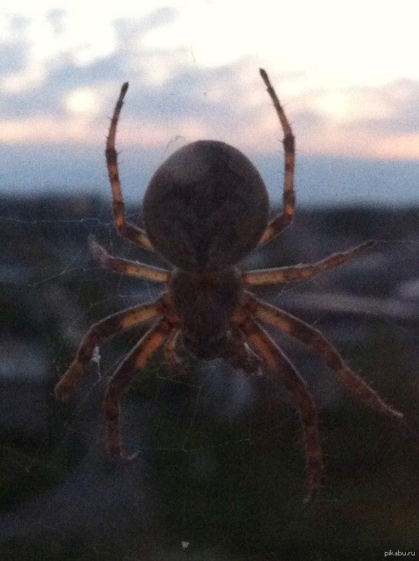 Вот такой паучок сидит у меня за окном) Фоткал на iPhone 4