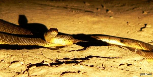 Золотая змея Вот такая красавица свалилась на меня в тоннеле под железнодорожными путями. Фотографировал на Panasonic Lumix DMC-FZ45.
