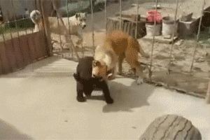 Насоящий медведь трахает медедицу