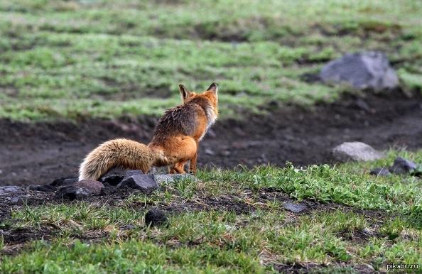 Жопа лисы