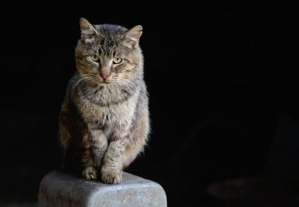 snow leopard bengal cats for sale