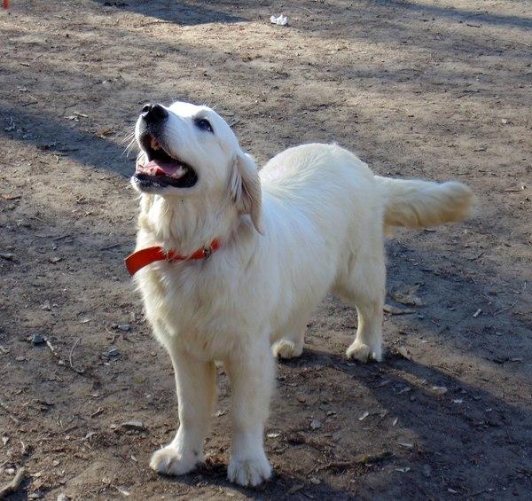 Когда ты не очень хорошо разбираешься в породах собак честно украдено, голден, породистые собаки