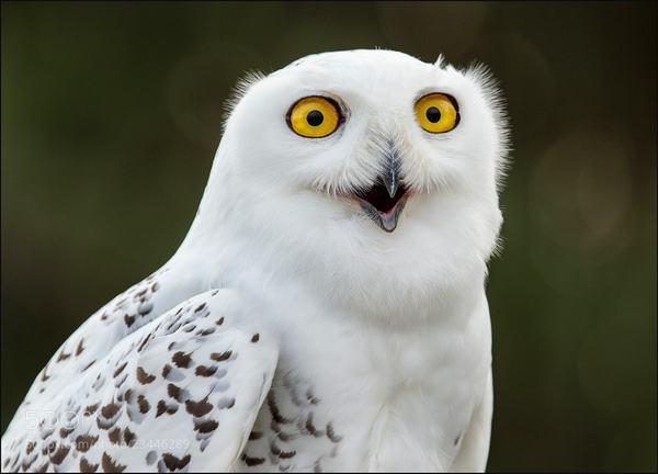 Знакомств чат сова белая