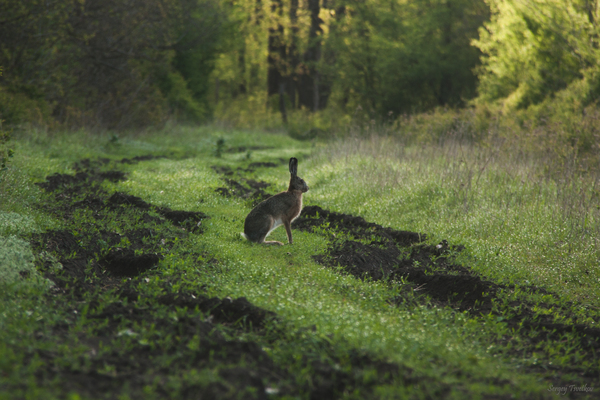 Зайцы моё, Животные, заяц, фотография, Природа, Россия