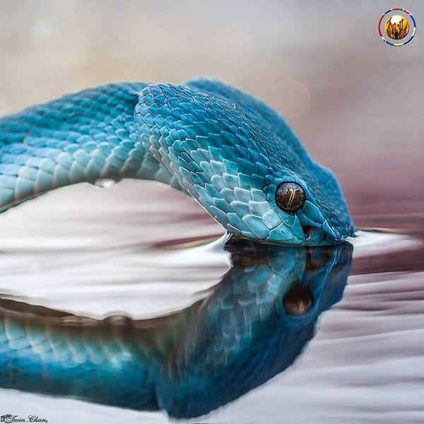 Комодская древесная гадюка (голубая куфия) утоляет жажду
