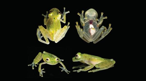 Самая прозрачная из прозрачных лягушек Животные, лягушка, лягушки, прозрачный, стеклянный, Природа, наука