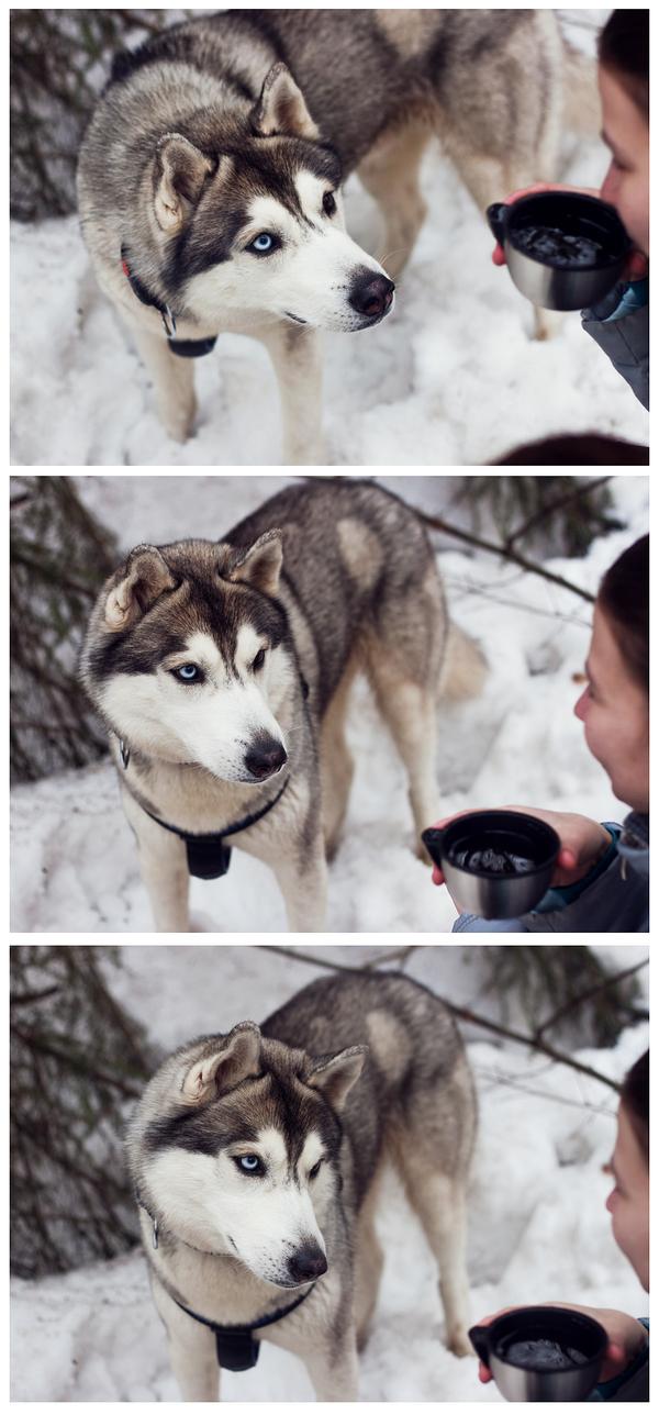 Хаски просит пожрать Собака, хаски, еда, жрать