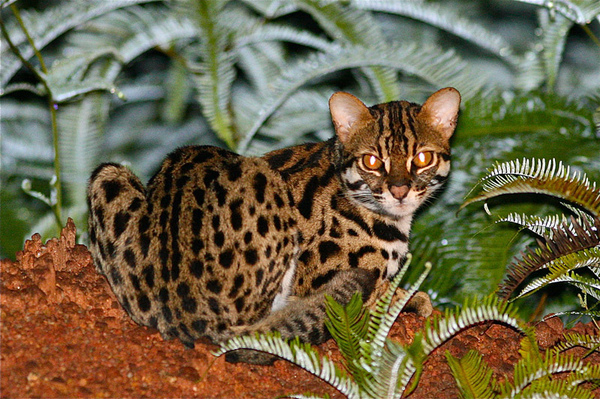 Asian leopard cat for sale malaysia