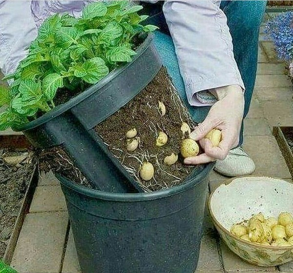 Напомнило анекдот картофель, урожай, Ноу-хау