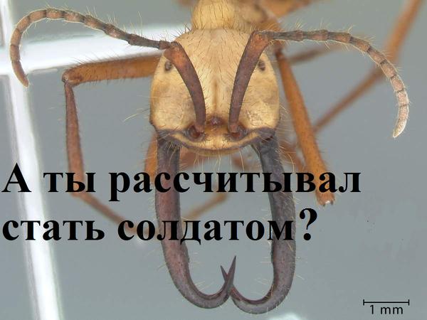 Некоторые факты о муравьях. интересное, муравьи, шакалы, длиннопост