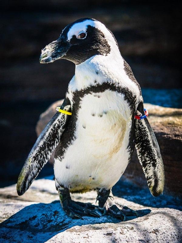 Как поживают пингвинёнок Чуди и его сородичи. пингвины, Роев ручей, Красноярск, длиннопост