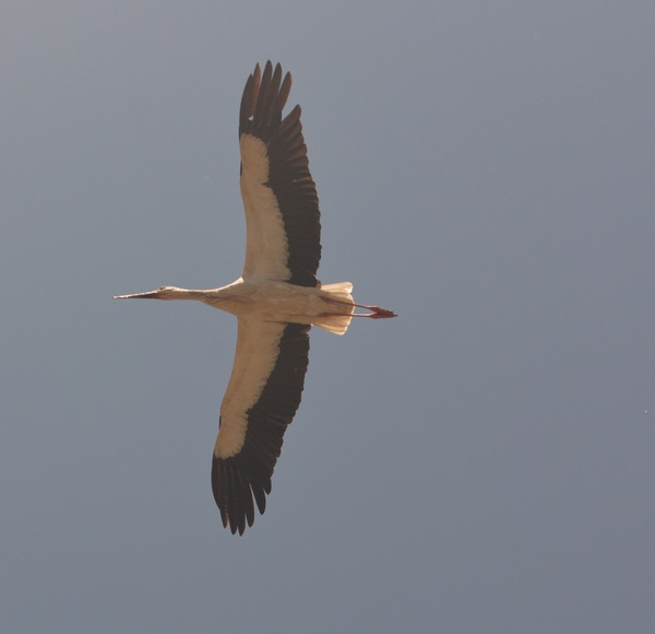 Аист в полете Аист, Птицы, Фотография