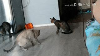 Когда накосячил... кот, котомафия, домашние животные, домашний любимец, косяк, гифка