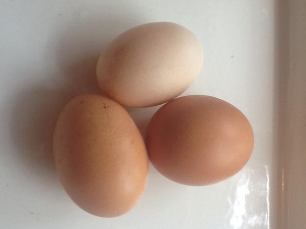 Откуда берутся яйца сельское хозяйство, птицеводство, Яйцо, курица, длиннопост