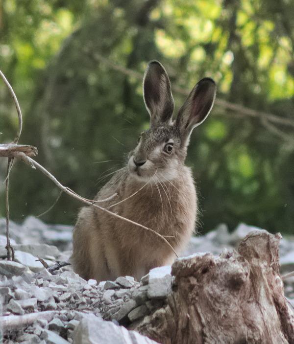 Заяц заяц, фотография, дикие животные, Природа, длиннопост
