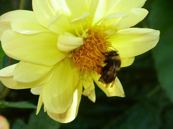 Пчелка с комочками пыльцы Фотография, Макро, Пчелы, Пыльца, Георгины