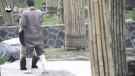 Панду учат ходить Панда, Gif анимация, IPanda, Чэнду, Гифка