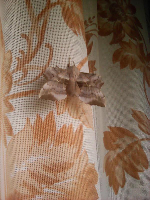 Кошечки, собачки... У меня одомашнилась бабочка.