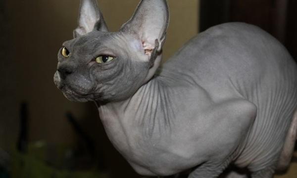 """""""Котоленд"""" предлагает красавицу-кошку! кот, приют, помощь, добро, котоленд, Липецк, длиннопост"""