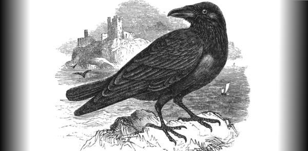 Вороны долго помнят своих обманщиков Ворон, Врановые, Птицы, Память, Поведение животных, Обман