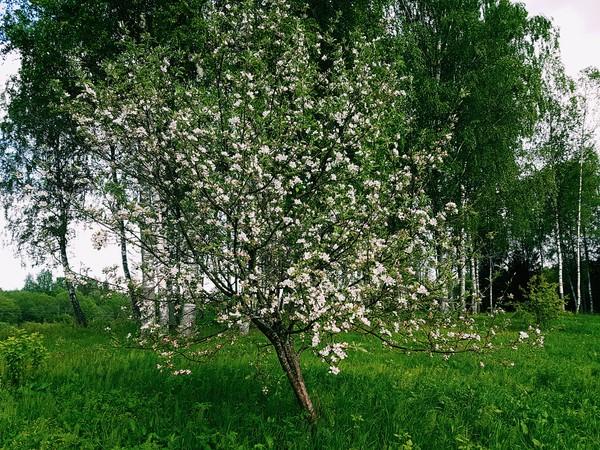 Когда яблони цветут... Яблоня, Яблоня цветет, Фотография