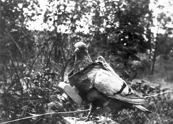 Как голубей учат доставлять почту Голубь, голубиная почта, длиннопост, русская семерка, дрессировка, Животные, почта, птицы
