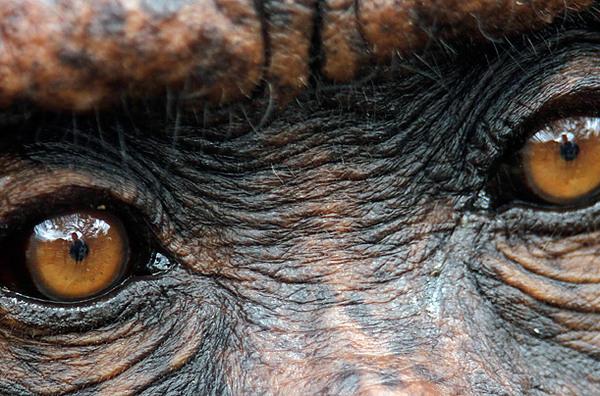Минипост о цвете глаз человека Интересное, палеонтология, антропология, человек, обезьяна, приматы, глаза, наука, длиннопост