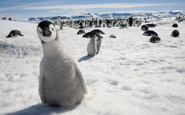 Гигантские пингвины прошлого палеонтология, птицы, пингвины, Гигант, длиннопост