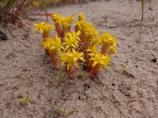Жёлтые цветы на песке