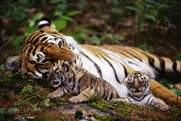 Битва титанов: медведь против тигра зоология, биология, медведь, тигр, схватка, пищевая цепь, длиннопост