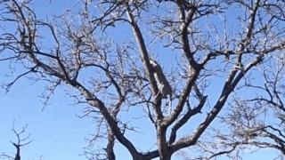Леопард без проблем бегает по тончайшим веткам деревьев, чтобы догнать обезьяну Леопард, Кот, Животные, Обезьяна, Охота, Видео, Гифка