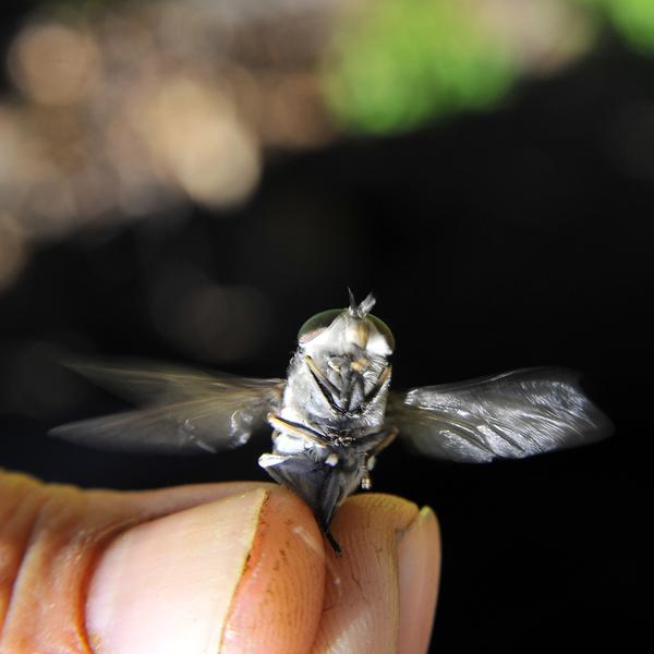 Сибирские пауты беспощадны. Сейчас их власть... фотография, тайга, пауты, укус, кровь, боль, насекомые