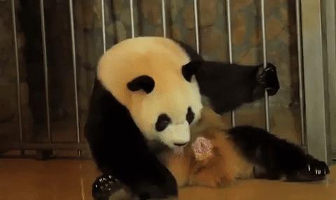 Рождение панды.